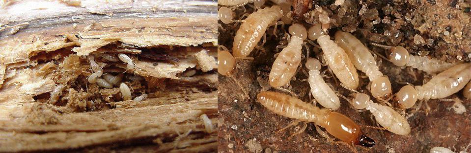 greenspm pest termite control bali